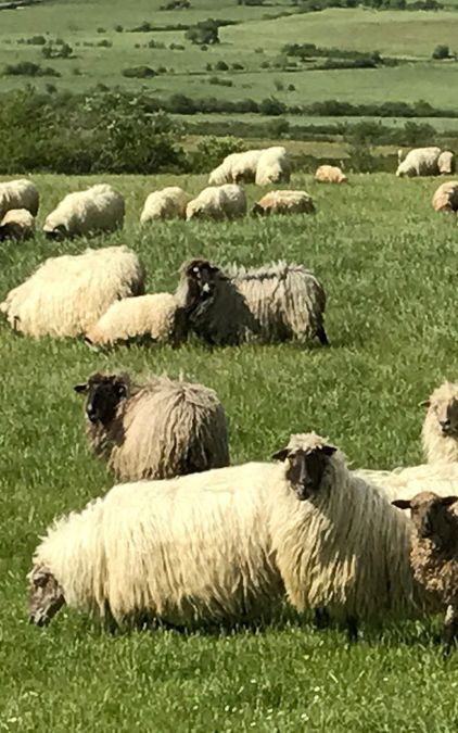 Sheeps in the meadows in Basque Country